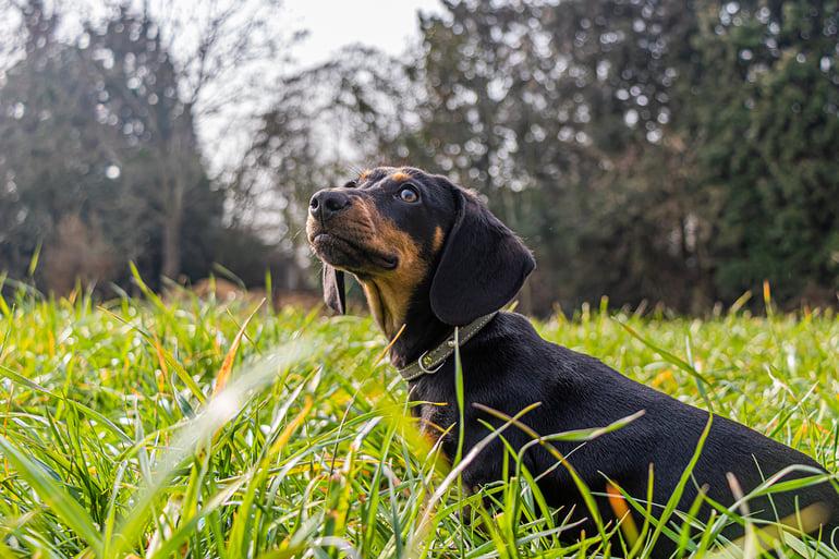 Teckel puppy